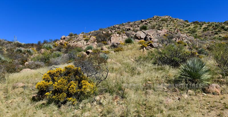 AZ-TS-Ericameria nauseosa 2018.11.7#028, the Rabbit Brush. Chiricahua mountains Arizona.