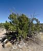AZ-TS-Juniperus monosperma 2018.4.18#114.3. Oneseed Juniper. Montezuma's Well.