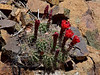 AZ-CTS-Echinocereus coccineus 2018.5.28#023. The Claret Cup or Scarlet Hedgehog cactus. Mingus Mountain Arizona.