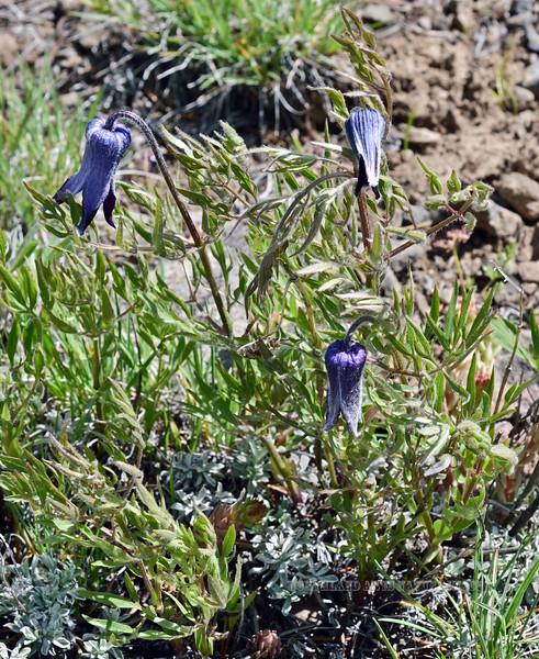 WY-F-Clematis hirsutissima 2019.6.20#1651, Sugar Bowl. Mount Washburn, Yellowstone Park Wyoming.