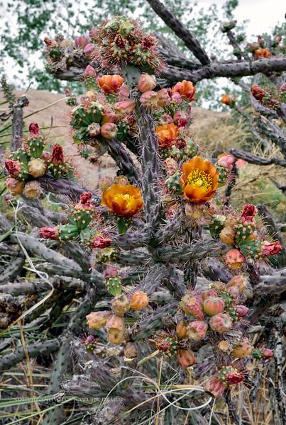 AZ-CTS-Cylindropuntia versicolor 2018.5.1. The Staghorn Cholla. Saguaro West NP, Pima County Arizona.