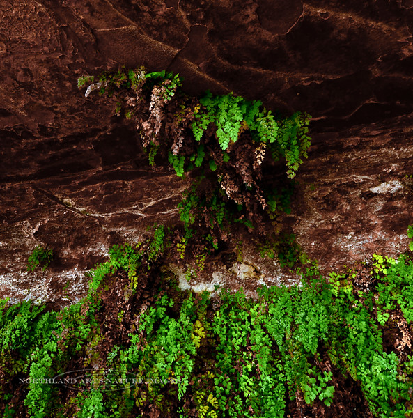 AZ-F-Asplenium trichomanes 2018.10.25#291, the Maidenhair Fern. Glen Canyon Rec. area, Arizona.