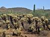 AZ-CTS-Cylindropuntia bigelovi 2017.7.27#014. The Teddy Bear Cholla. Near Lake Pleasant Arizona.