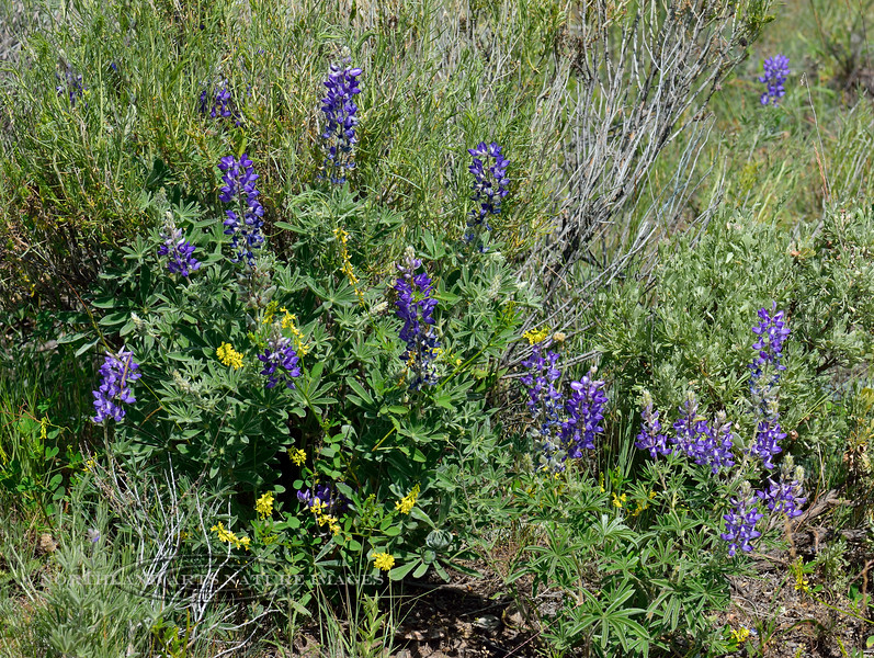 WY-F-Lupinus argenteus 2018.7.4#3984, the Silver Lupine. Accompanied by Thermopsis montana, Golden Bean. Yellowstone Park Wyoming.