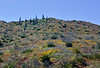 AZ-DS-Desertscape 2019.3.29#234. A backlit scene of wildflowers on a hillside in the Tonto Basin Arizona.