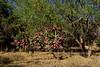 AZ-CTS-Cylindropuntia spinosior 2018.5.15#1000. A Cane Cholla. Madera Canyon, Santa Rita Mountains Arizona.