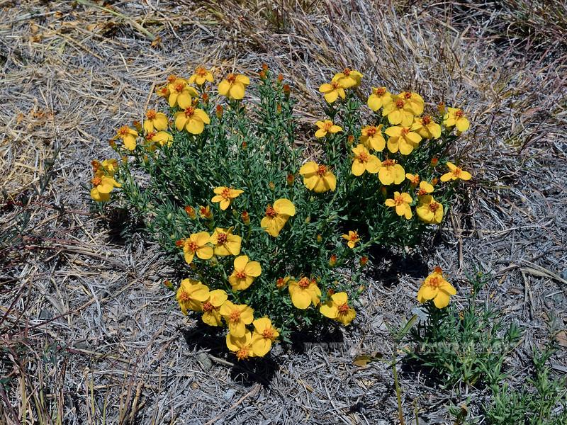 AZ-F-Zinnia grandiflora 2020.6.23#3746.3. Prairie Zinnia. Upper Agua Fria, Yavapai County Arizona.