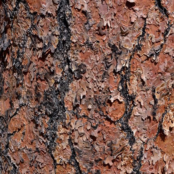 AZ-TS-Pinus ponderosa 2019.9.8#036.3. Bark detail of an old Ponderosa Pine.  Mingus Mountain, Arizona.