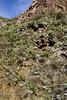 AZ-CTS-Opuntia chlorotica 2018.3.22#077. the Pancake Prickly Pear. Box Canyon Pass. Pima County Arizona.
