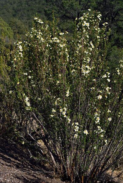 AZ-TS-Purshia stansburiana 2016.4.24#027, the Bitterbrush or Cliff Rose. Mingus mountain, Arizona.
