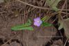 AZ-F-Anoda cristata 2018.9.5#049.2. The Crested Anoda. Mingus Mountain, Arizona.