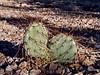 AZ-CTS-Opuntia phaeacantha 2018.3.28#006. The Brown-Spine Prickly Pear cactus. Yavapai County, Arizona.