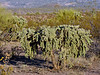 AZ-CTS-Cylindropuntia fulgida 2018.6.19#515. A Chainfruit Cholla. Gila County Arizona.