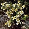 NV-TS-Purshia maybe glandulosa 2017.5.20#734. Bitterbrush/Desert Rose. Rt 95, Nevada.