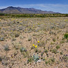 AZ-F-Baileya  multiradiata 2018.4.12#989, the Desert Marigold. RT191, south of Safford Arizona.
