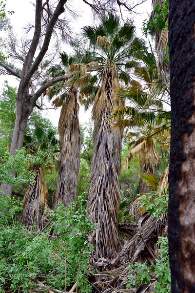 AZ-TS-Washingtonia filifera. 2018.4.19#051.2. The Desert Fan Palm. Hassayampa Arizona.