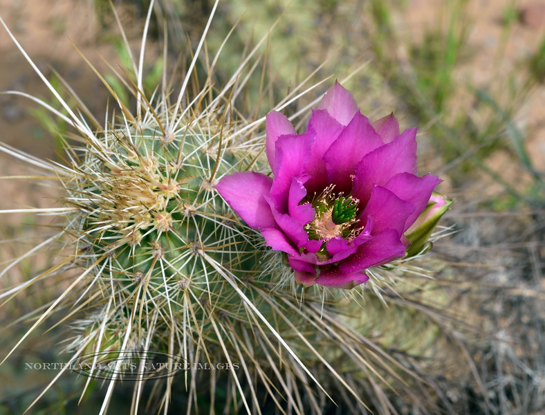 AZ-CTS-Echinocereus engelmannii 2019.4.1#007. Engelmann's Hedgehog cactus. Superstition Mountains, Pinal County Arizona.