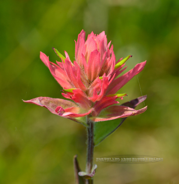 WY-F-Castilleja species 2018.7.5#4658, the Indian Paintbrush. Bighorn Mountains, Wyoming.
