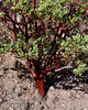AZ-TS-Arctostaphylos pungens 2019.6.5#233.2. A great speciman to showcase the beautiful coppery red brown hues of the Manzanita bark. Pointleaf or Mexican Manzanita. Coronado Monument south of Hereford Arizona.