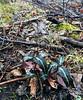 PA-F-Chimaphila maculata 2021.1.4#0530.2. Spotted Wintergreen. Bucks County Pennsylvania. Photo by Guy J.