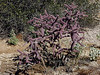 AZ-CTS-Cylindropuntia versicolor 2007.3.5#0129. The Staghorn Cholla. Saguaro East NP, Arizona.
