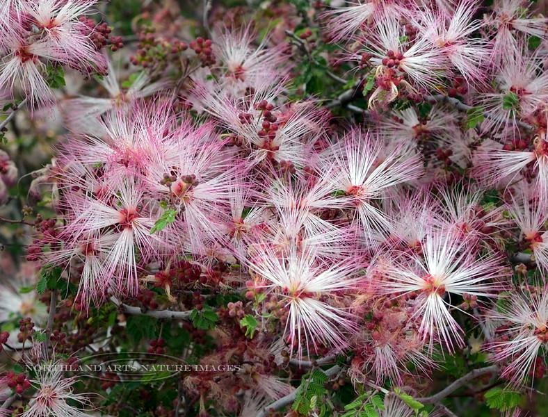 AZ-TS-Calliandra eriophylla 2018.4.6#006, the Fairy Duster. Picacho Peak, Arizona.
