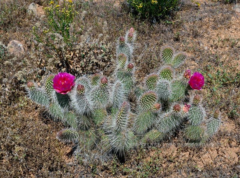 AZ-CTS-Opuntia polycantha var. erinacea 2020.5.5#1732.3. Mohave Prickly Pear cactus. Detrital Valley west of Dolan Springs Arizona.