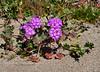 AZ-F-Abronia villosa 2020.3.5#7540.3. Desert Sand Verbena east of Yuma Arizona.