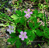 PA-F-Geranium maculata 2010.5.7#2. Woods Geranium. Saw Creek Road, Pike County Pennsylvania.