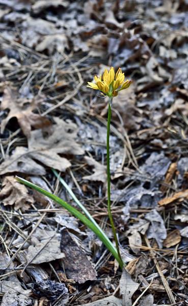 AZ-F-Triteleia lemmoniae 2019.6.5#327.3. The Lemmon's Star, a rare plant. North of Strawberry Arizona.