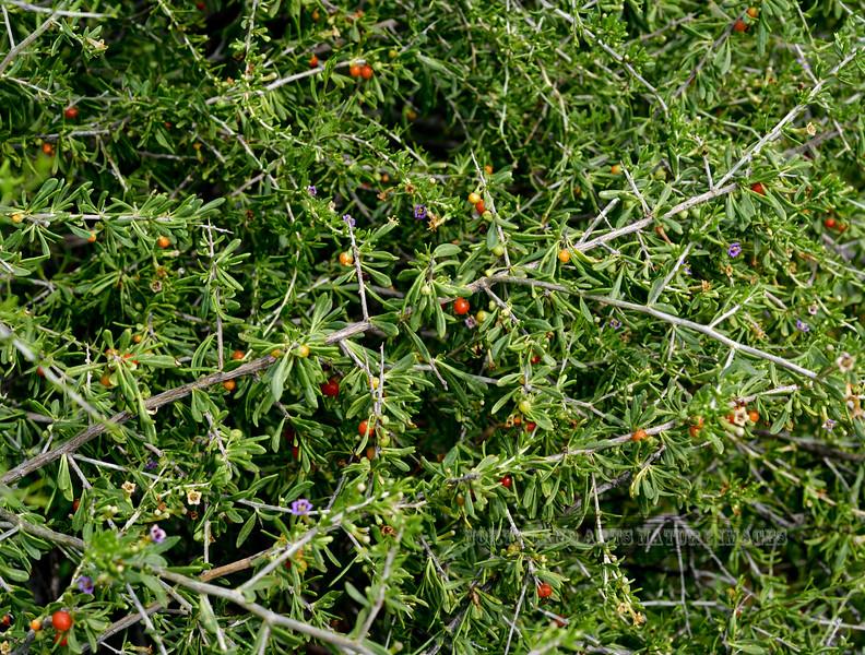 AZ-TS-Lycium andersonii 2020.3.22#5543.2. Anderson's Wolf Berry. Near antelope range in the Kofa NWR, Arizona.