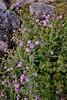 WY-Cersium arvense. The Canada Thistle. near Teton's Wyoming.