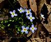 PA-F-Hedyotis caerulea 2016.5.12#136.4. Quaker Ladies. Five Mile Meadow Road, Pike County Pennsylvania.