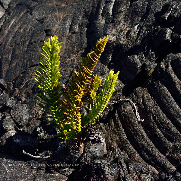 HI-F-Polypodium pellucidum var.volcanicum. One of the first colnoizers on a new lava flow. Common Hawaiian name is Ae. Mauna Loa Volcano, Hawaii. #22.109.