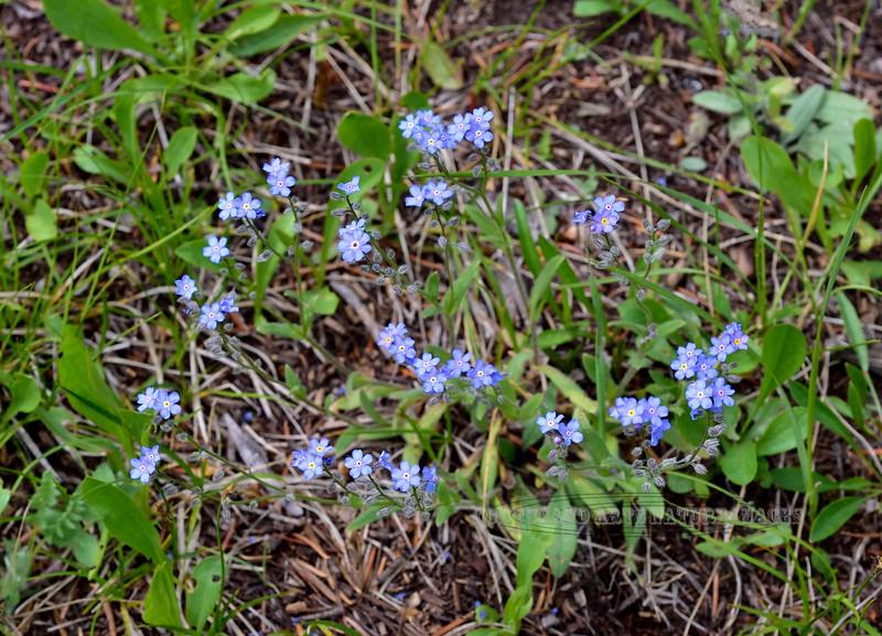 WY-F-Hackelia floribunda 2019.6.20#1358, the Many-flowered Stickseed. East of Junction Butte area, Yellowstone Park Wyoming.