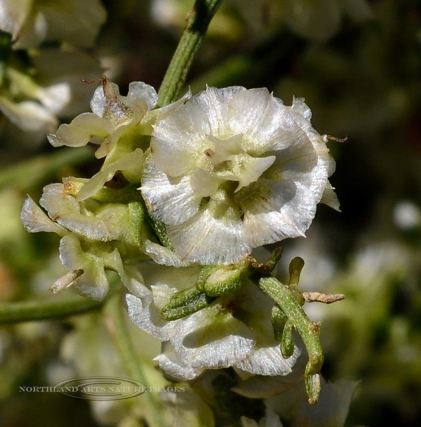 NV-TS-Ambrosia salsola 2020.4.15#7273.3. White Burro Brush flower. Newberry Mountains near Christmas Tree Pass Nevada.