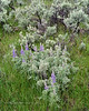 WY-F-Lupinus argenteus 2019.6.20#1189, Silvery Lupine. Lamar Valley, Yellowstone Park Wyoming.
