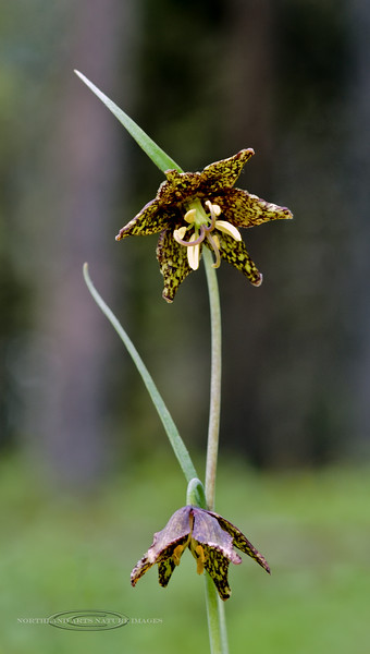 WY-F-Fritillaria atropurpurea 2019.6.21#1816, the Leopard Lilly. Teton Forest, Wyoming.