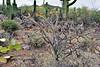 AZ-CTS-Cylindropuntia versicolor 2018.5.1#362. The Staghorn Cholla. Saguaro West NP, Pima County Arizona.