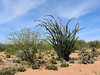 AZ-AOY-Fouquieria splendens 2018.4.6#150, Ocotillo, in a desertscape of acacia, mesquite, barrel cactus and cholla. Pima Couunty Arizona.