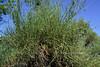 AZ-TS-Canotia holacantha 2019.9.21#393.3. The Crucifixion Thorn. Red Rock Country Arizona.