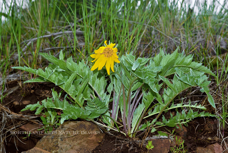 ID-F-Balsamorhiza hookeri 2014.5.11#113.3. The Hooker's Balsamroot. Clearwater Forest, Near Grangeville Idaho.