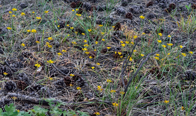AZ-F-Triteleia lemmoniae 2019.6.5#350.2. The Lemmon's Star, a rare plant. North of Strawberry Arizona.
