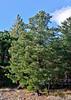 AZ-TS-Pinus strobiformis 2019.11.6#2296.3. A Southwestern White Pine on Mount lemmon Arizona.