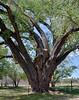 AZ-TS-Populus fremontii 2021.4.15#6245.2. A grand old Fremont Cottonwood. Near Skull Valley Arizona.