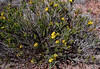AZ-F-Thymophylla acerosa 2009.4.17#054.3. The Needleleaf Dogwood. Near Red Rock Creek, east of Sedona Arizona.