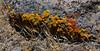 AZ-LM-Lichen 2018.6.29#3336. Black Mountain near Hoover Dam, Arizona.