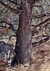 AZ-TS-Juniperus deppeana 2007.3.6#0140.3. Alligator Juniper. Madera Canyon, Santa Rita Mountains Arizona.