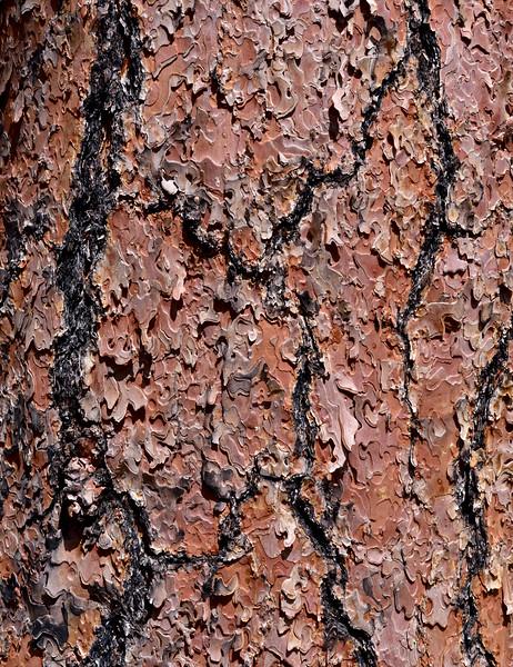 AZ-TS-Pinus ponderosa 2019.9.8#034.3. Bark detail of the Ponderosa Pine. Mingus Mountain, Arizona.