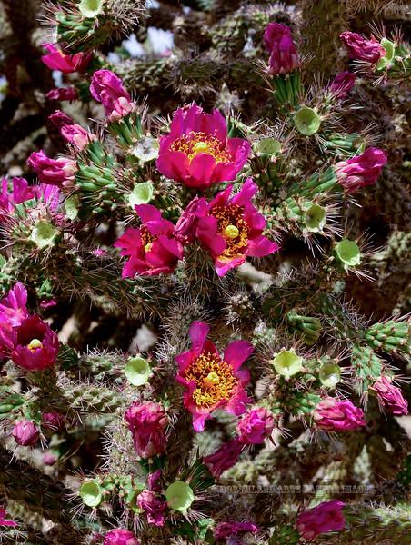 AZ-CTS-Cylindropuntia spinosior 2018.5.1#141. Cane Cholla blossums. Sandario Road, Pima County Arizona.